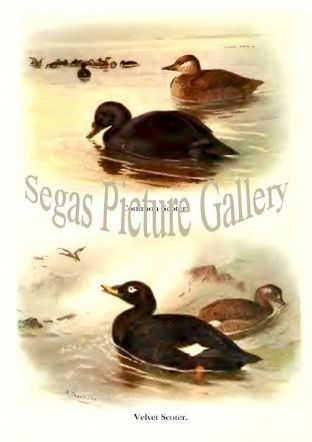 Common Scoter & Velvet Scoter